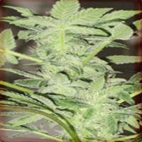 Chrystal Marijuana Strain