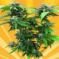 Chunky Skunk Marijuana Strain