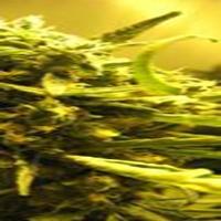 Cinnamon Marijuana Strain