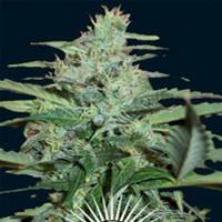 Collosus Marijuana Strain