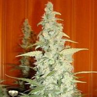 Cole Train Marijuana Strain