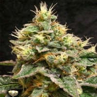 Confidential Cheese Marijuana Strain