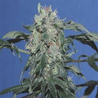 Copperhead Marijuana Strain