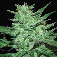Crazy Miss Hyde Marijuana Strain