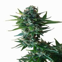 Critical Cross Marijuana Strain