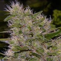 Critical Mass Marijuana Strain