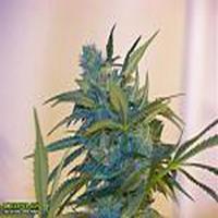 Critikal 99 Marijuana Strain
