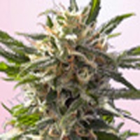 Crystal White Marijuana Strain