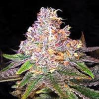 Cocoa Kush Marijuana Strain