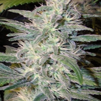 Citral Skunk Marijuana Strain