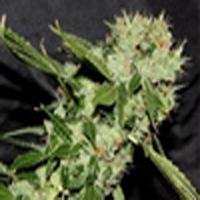 Cheese n Chaze Marijuana Strain