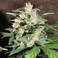 AK 47 X Auto Blueberry Marijuana Strain