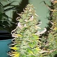 AK 47 x Diesel Marijuana Strain