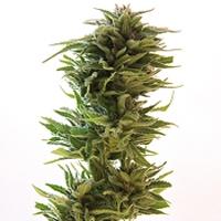 Amnesia Lemon Marijuana Strain