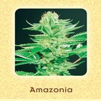Amazonia Marijuana Strain