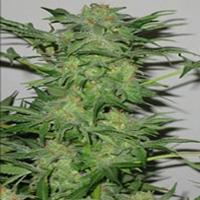 AK 48 Marijuana Strain