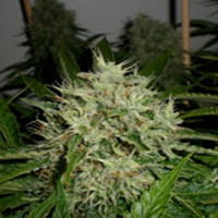 AK Widow 47 Marijuana Strain