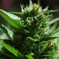 SkullRyder Marijuana Strain
