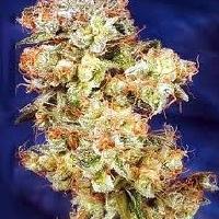 Skywalker  Marijuana Strain