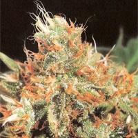 Slyder  Marijuana Strain