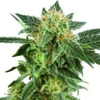 Snowryder  Marijuana Strain
