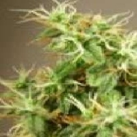 South Star  Marijuana Strain