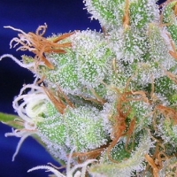 Spacejill  Marijuana Strain