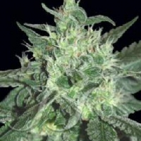 Spicy White Devil Marijuana Strain