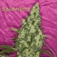 Spiderbite  Marijuana Strain