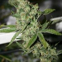SSSDH  (Super Silver Sour Diesel Haze) Marijuana Strain