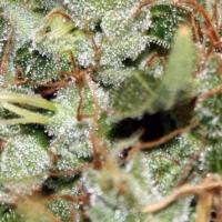 SSSG (Super Silver Sour G13) Marijuana Strain