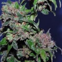 Stealth  Marijuana Strain