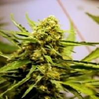 Stinky Marijuana Strain