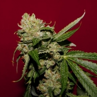 Strawberry Alien Diesel  Marijuana Strain