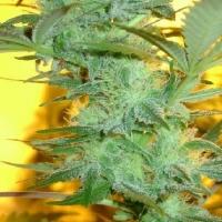 Struth  Marijuana Strain