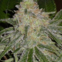 Sugar Black Rose  Marijuana Strain