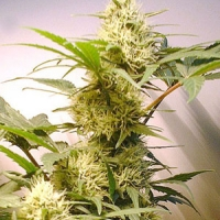 Summer Queen  Marijuana Strain