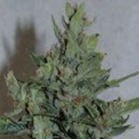 Amarant Dwarf Marijuana Strain