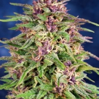 Super Purple Skunk Marijuana Strain