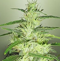 Super Silver Cheese Marijuana Strain