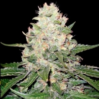 Sweet Black Angel  Marijuana Strain
