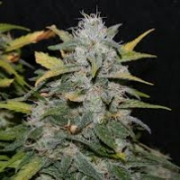 Sweet Pink Grapefruit  Marijuana Strain