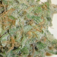 Sweet Tooth Marijuana Strain