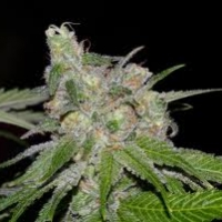 Sweet Tooth #3  Marijuana Strain