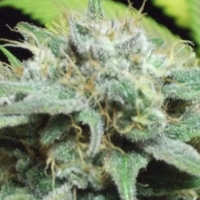 Sweet Tooth 1.1  Marijuana Strain