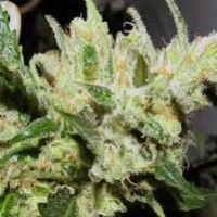 Sweet Tooth3 Bx1 Marijuana Strain