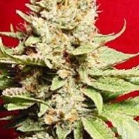 Rox Marijuana Strain