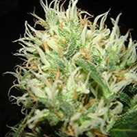 Betazoid Marijuana Strain