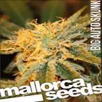 Big Auto Skunk Marijuana Strain