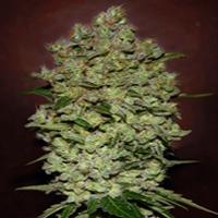 Bio Diesel Mass Marijuana Strain